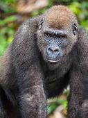 Постер, плакат: Gorilla In Gabon Endangered Eastern Gorilla In The Beauty Of African Jungle gorilla Gorilla