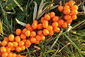 picture of sea-buckthorn  - sea buckthorn as fresh orange exotic fruit - JPG
