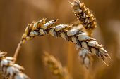 Wheat Field. Ears Of Golden Wheat Close Up. Background Of Ripening Ears Of Meadow Wheat Field. Rich poster