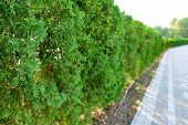 Abstract Image Of Green Fence Of Evergreen Bushes And Gray Paving Slabs. Texture, Background poster
