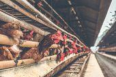 Chickens In The Cage On Chicken Farm. Chicken Eggs Farm. Bali Island. poster