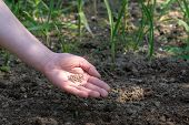 Woman Hand Putting Seed Into Soil In The Spring. Sow Vegetable Seeds. Womans Hand Makes Small Seeds poster