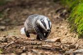 Badger Walking In The Forest, Animal In Nature Habitat, Poland, Europe. Wild Badger, Meles Meles, An poster