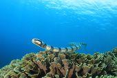 Banded Sea Snake poster