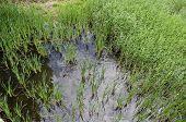 Summer With Green Fresh Reed, Phragmites Communis Or Rush And Drake, Female Mallard Ducks Swimming I poster