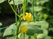 Yellow Flowers On Green Cucumber Leaves, Close Up View. Cucumber Growing On The Vegetable Patch. Ope poster
