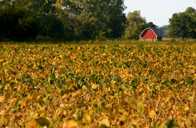 stock photo of rebs  - Reb barn in bean field in the fall at harvest time - JPG
