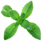 pic of substitutes  - Stevia Rebaudiana Shugar Substitute Isolated on White Background - JPG