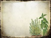 picture of catnip  - Old paper or parchment neutral background with green catnip plants at lower right - JPG