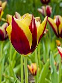 Red Yellow Tulip