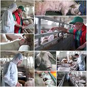 Pig Farming Management - Collage
