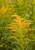 pic of goldenrod  - Goldenrod growing in the wild - JPG