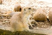 foto of gopher  - Gopher listening to the sounds around it - JPG