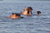foto of wallow  - Small group of wild hippos or hippopotamus wallowing in water one with just its eyes and top of the head visible and a second yawning - JPG
