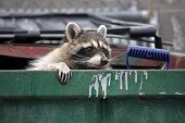 picture of dumpster  - raccoon climbing out of a trash dumpster