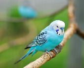 stock photo of parrots  - blue budgie parrot pet bird also known as Budgerigar Melopsittacus - JPG