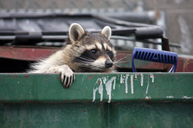 foto of dumpster  - raccoon climbing out of a trash dumpster