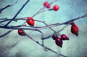 foto of wild-brier  - Rosehip berries on the twig - JPG