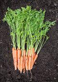 foto of rich soil  - Freshly harvested carrots on dark rich garden soil  - JPG