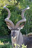 picture of antelope horn  - Kudu antelope with large spiralled horns in the African bush