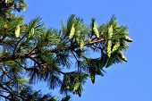 Pinus Peuce (macedonian Pine) Against The Blue Sky