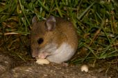 foto of eat grass  - A field mouse eating a peanut at night - JPG