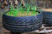Vegetable growing in old used tyre pot