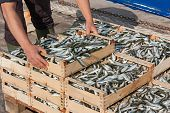 pic of caught  - mediterranean sardines - JPG