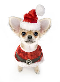stock photo of chiwawa  - Christmas chihuahua puppy with Santa costume isolated on white background - JPG
