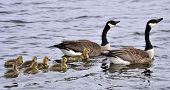 picture of mother goose  - Canada Geese and their newly hatched little ones - JPG