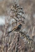 foto of goldenrod  - American tree sparrow perched on a winter goldenrod stalk - JPG