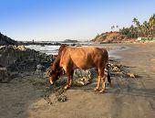 foto of sea cow  - India - JPG