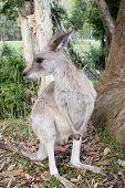 Постер, плакат: Кенгуру Гамтри зоопарке Австралии