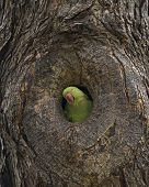 pic of parakeet  - A Rose-ringed parakeet (Psittacula Krameri) poking head out of tree nest hole in a querying manner.