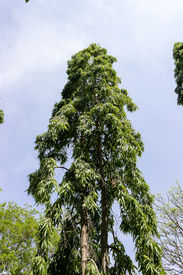 pic of ashoka  - a tall ashoka tree  - JPG