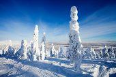 picture of laplander  - Beautiful sunny winter landscape in Lapland Finland - JPG