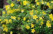 stock photo of trumpet flower  - golden trumpet blooming in garden - JPG