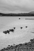 picture of wallow  - Water buffalo cooling in the muddy lake in India in black and white tone