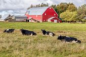 picture of farm land  - Dairy cattle and a red barn on a farm - JPG