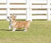 foto of corgi  - A young healthy beautiful red sable and white Welsh Corgi Pembroke puppy dog with a docked tail walking on the grass happily - JPG