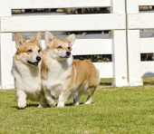 image of corgi  - Two young healthy beautiful red sable and white Welsh Corgi Pembroke dogs with a docked tail walking on the grass happily - JPG