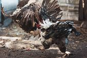 stock photo of fighting-rooster  - Cocks strike each other blows in combat - JPG