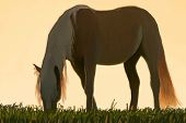 picture of paint horse  - A digital painting of a horse grazing in a field - JPG