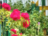 pic of garden eden  - Bright red climbing roses in the summer garden.