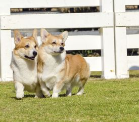 picture of corgi  - Two young healthy beautiful red sable and white Welsh Corgi Pembroke dogs with a docked tail walking on the grass happily - JPG