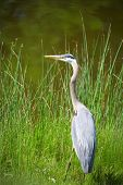 stock photo of grass bird  - Great Blue Heron bird in the tall grass - JPG