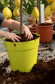 foto of rich soil  - Gardener potting a lemon tree with fresh fruit in a large yellow pot arranging the rich fertile potting soil around the stem of the tree - JPG