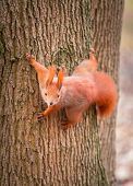foto of hazelnut tree  - Red squirrel on the tree in the park - JPG