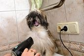 picture of pov  - Shih Tzu - JPG