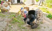 picture of turkey-cock  - The photo shows the turkeys on the farm - JPG